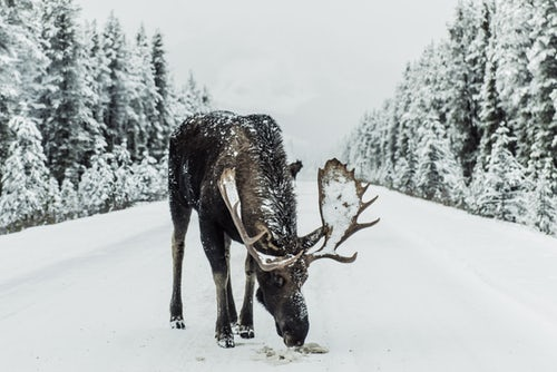 Moose grazing on a snowy road in Canada